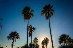 Tall palm trees in Daytona Beach, Florida. Royalty Free Stock Photography