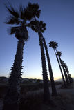 Tall palm trees at dusk along walking path. Among Pacific Coast dunes with Ventura, California cityscape in the background royalty free stock images