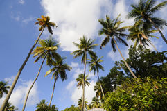 Tall Palm Trees Stock Images