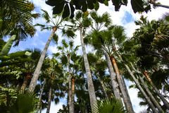 Tall Palm trees look up, green color stock photo