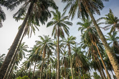 Tall Palm Trees Royalty Free Stock Images