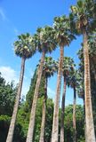 Tall palm trees at the National Garden of Athens Greece royalty free stock image