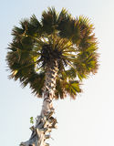 Tall palm trees. With a round crown Royalty Free Stock Photos