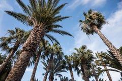 Tall Palm Trees Royalty Free Stock Photo