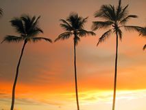 Tall palm trees on sunset sky background. Palm trees on the beach Royalty Free Stock Photo