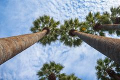 Tall palm trees taken during a sunny afternoon with a blue sky and a few clouds in the background. Picture of palm trees in a warm sunny afternoon with a blue Royalty Free Stock Photos