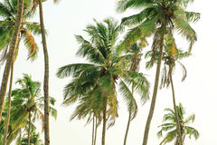 Tall palm trees in tropical coconut wood on exotic island. Tall palm trees in tropical coconut wood on exotic island Stock Image