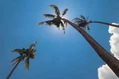 Tall palm trees under bue sky. Tropical stock photo