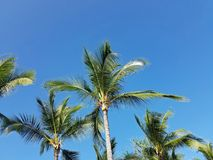 Tall palm trees under a clear blue sky. Big Island, Kailua Kona, Hawaii Stock Photo