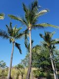 Tall Palm Trees Under a Clear Blue Sky. Big Island, Kailua Kona, Hawaii Royalty Free Stock Photo