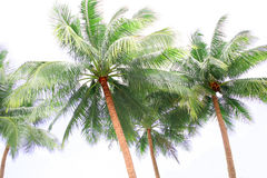 Tall palm trees Royalty Free Stock Image