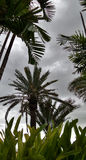 Tall palm under heavy strom in the evening Stock Images