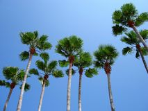 Tall Palms Royalty Free Stock Image