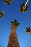 Tall Palms. Looking up into a group of palm trees Stock Images