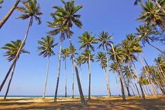 Tall palms on beach Royalty Free Stock Photo