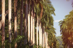 Tall palms Royalty Free Stock Photography