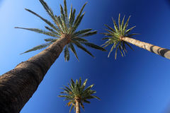 Tall palmtrees. Three tall palmtrees with the blue sky in the background Stock Photos