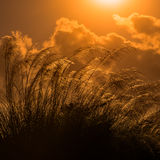 Tall pampas against bright summer's sunlight Tobago square Stock Images