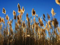 Tall pampas Cortaderia grass in a field on the background of the setting sun and blue sky. Bright Sunny summer photo. Golden ear Royalty Free Stock Photos