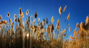 Tall pampas Cortaderia grass in a field on the background of the setting sun and blue sky. Bright Sunny summer photo. Golden ear Stock Image