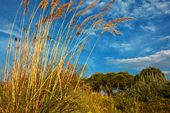 Tall pampas grass in autumn Royalty Free Stock Images