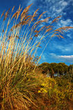 Tall pampas grass in autumn Royalty Free Stock Image