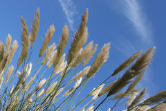 Tall Pampas Grass and blue sky Royalty Free Stock Image