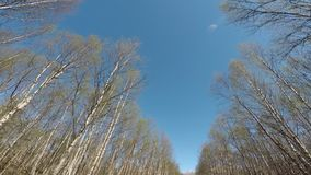 Tall parallell birch trees on blue summer sky. Background stock video