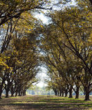 Tall Pecan Grove Row Royalty Free Stock Image