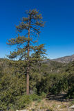 Tall Pine in Angeles Forest Stock Image