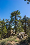 Tall Pine in Boulders Royalty Free Stock Image