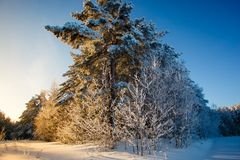 Tall pine covered in snow. Winter landscape in rural area stock images