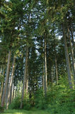 Tall Pine Forest stock photography