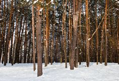 Tall Pine Forest Stock Photos