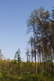 Tall Pine Forest. Tall pine trees dominate in this forest scene Royalty Free Stock Photo