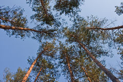 Tall Pine Forest. Tall pine trees dominate in this forest scene Stock Image