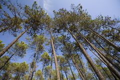 TALL PINE FOREST Royalty Free Stock Image