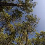 TALL PINE FOREST Stock Image