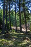 Tall Pine forest. Pine forest landscape in Transylvania, Romania royalty free stock photo