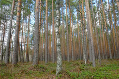 Tall pine forest at wetland Royalty Free Stock Photos