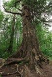 Tall pine lake baikal Royalty Free Stock Photography