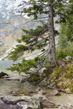 Tall pine on lake shore in mountains Stock Photography