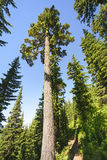 Tall Pine in the Mountains Royalty Free Stock Photos
