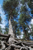 Tall pine with overgrown tree roots Royalty Free Stock Images