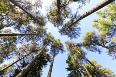 Tall pine tree background viewed from the ground. Tall pine trees viewed from the ground Royalty Free Stock Images
