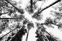 Tall pine tree background viewed from the ground. Tall pine trees viewed from the ground Stock Photo