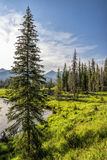 Tall pine tree on bank of Colorado River Royalty Free Stock Photo