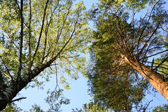 Tall pine tree and birch Royalty Free Stock Image