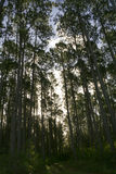 Tall pine tree canopy in forestry Stock Photos