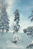 Tall pine tree covered with snow in winter slope stock photo